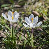 Крокусы - стойкие солдатики весны :: Valentina M.