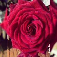 Роза :: Julia Volkova