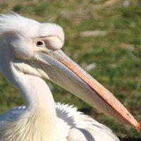 Пеликан-птица важная :: Андрей Дворкин