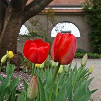 """""""Ах, эти первые тюльпаны! Как я люблю их нежный цвет!...""""! :: Galina Dzubina"""