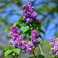 Лиловая цветунья :: Nina Streapan