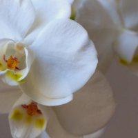орхидея. :: Пётр Беркун