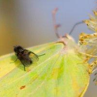 крыло бабочки - аэродром для мушки :: Александр Прокудин