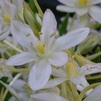 Это цветёт подснежник! :: Galina194701