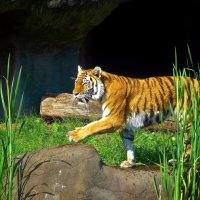 Из жизни тигра :: Nina Yudicheva