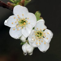 Эполеты Дюка радуют Весну... :: Валерий Басыров