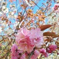 В Сочи цветет Сакура :: Tata Wolf