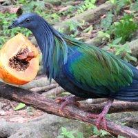 Гривистый голубь любит лакомиться плодами папаи. :: Вадим Синюхин