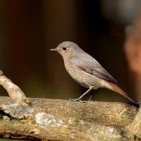 Горихвостка чернушка ( самка) :: Светлана Ивановна Медведева