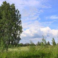 Береза в поле :: Наталья