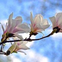 Магнолий нежные цветы :: Nina Streapan