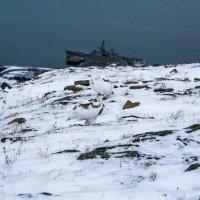 Куропатки арктические :: Alexandr G