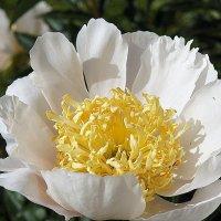 Древовидный пион - броская красота :: Елена Павлова (Смолова)