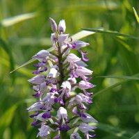 наша орхидея пальчатокоренник :: Николай Мальцев