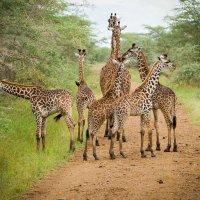 Семейство жирафов :: Кирилл Трубицын