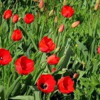 Первые тюльпаны... :: Нина Бутко