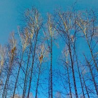 берёзки и небо :: Михаил Николаев