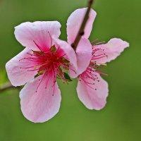 Цветы персика :: Светлана