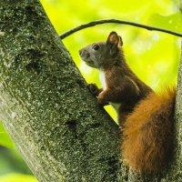 Маленький зверёк с пушистым хвостом на высоком дереве выбирает дом. :: Valentina M.