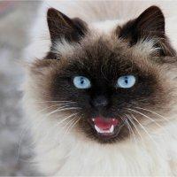 Невский маскарадный кот :: Леонид Дудко