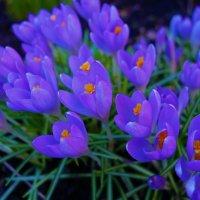 Первоцветы... :: Sergey Gordoff