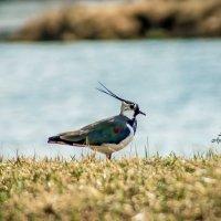 Чибис у озера :: Артём Федин