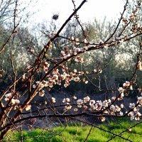 Расцветают абрикосы :: Владимир Болдырев