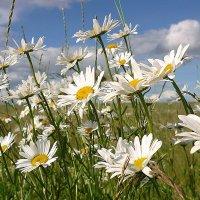 Ах, белые ромашки,Российские поля.... :: Павлова Татьяна Павлова