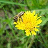 Пчёлка на цветке :) :: Клаус