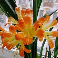 Комнатная лилия радуется весне и радует нас :: Наталия Каминская
