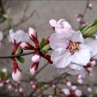 Бело-розовая нежность :: Нина Корешкова