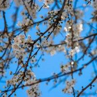 Яблоня в цвету :: Вера Перекольская