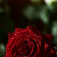 Роза макро :: Julia Volkova