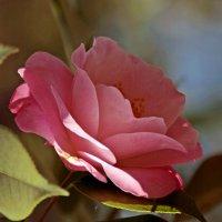 камелия :: Света Ли