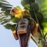 цветок банана :: Лариса Батурова