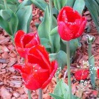 Красные тюльпаны огнём горят :: Дмитрий Никитин