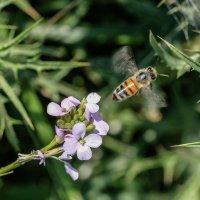 Пчелка :: klara Нейкова