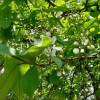 Черёмуха - начало цветения :: Нина Корешкова