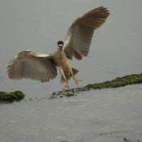 black - crowned night-heron :: Naum