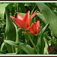 Красные тюльпаны :: Надежда