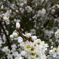 Цветы не любящие ваз :: Валерий Розенталь