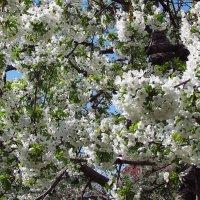 Белая кипень весны :: Александр Корчемный