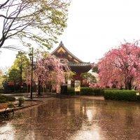 Сакура в Парке Уэно :: Ваган Мартиросян