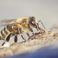 Пчела на водопое :: Александр Русинов
