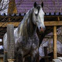 лошадка с косичкой :: Виктор Штабкин