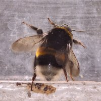 bumblebee :: Бармалей ин юэй