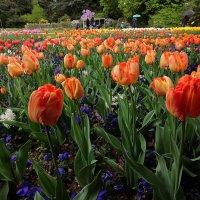 О тюльпанах :: Alexander Andronik