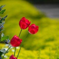 Тюльпаны :: Алёна Мацюк