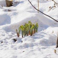 а на юге уже  тюльпаны цветут...... :: petyxov петухов