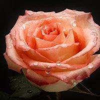 Просто роза. :: Евгений Герасименко